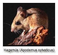 hagamus