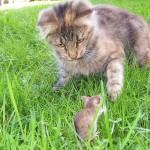 kisa og mus
