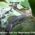 birkivefari og skemmt laufblad