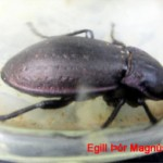 Varmasmiður ca. 25 mm langur