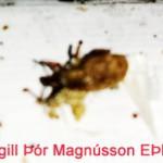 Húsþjófur lítil bjalla ca. 3 - 5 mm, getur verið í miklu magni