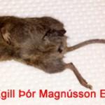 Músin hefur náðst, tók einn dag, en það geta veirið fleiri allta að 6 ungar + fullorðin dýr