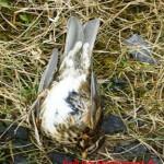 Skógarþrösturinn er fallegur fugl, alls ekki taka upp vegna flóarinnar