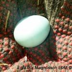 Svona lítur egg starans út, eggið er líklega frá síðasta sumri