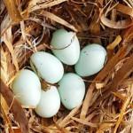 Starahreiður sex egg